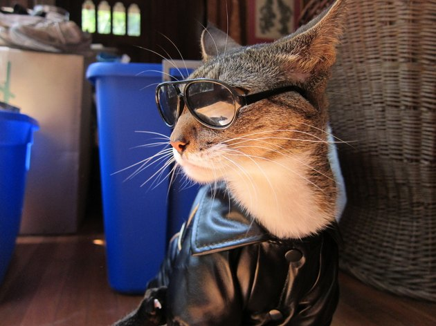 Cat wearing leather jacket and sunglasses