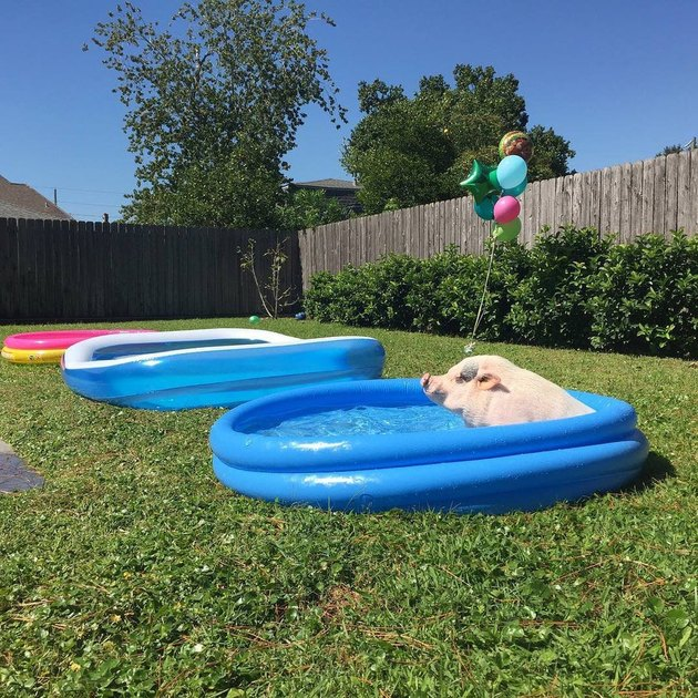 Pig in wading pool
