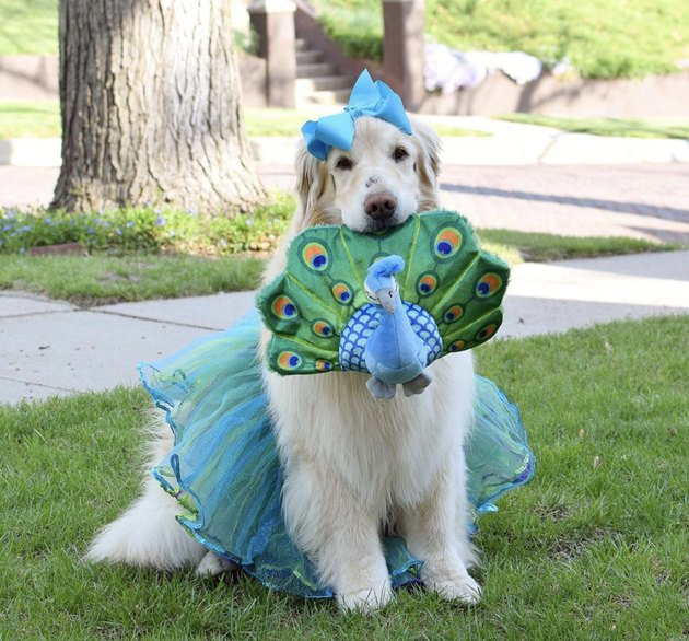 dog in blue tutu