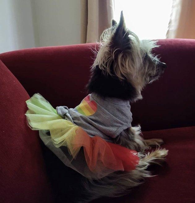 dog in rainbow tutu