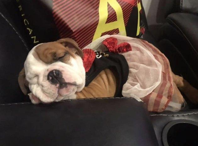 bulldog puppy in tutu