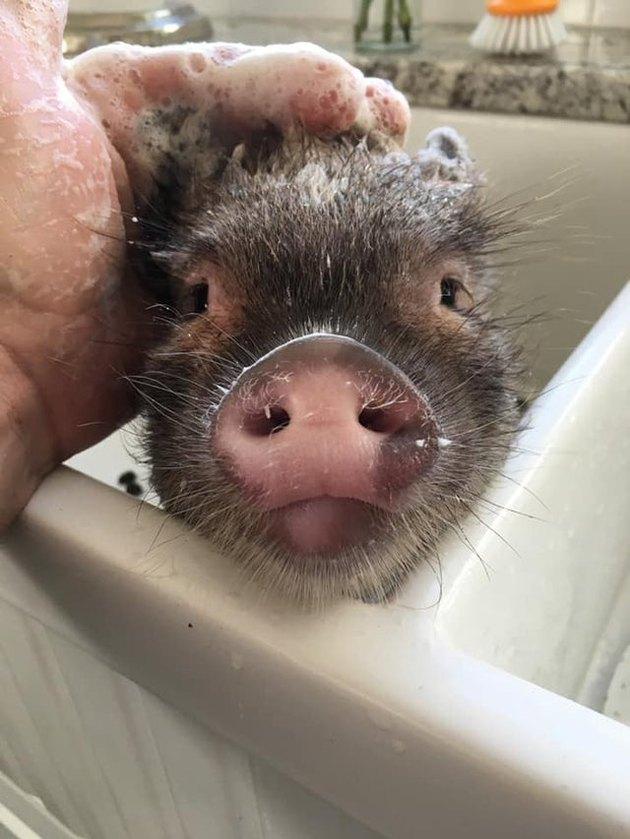 Pig getting a bath in a kitchen sink