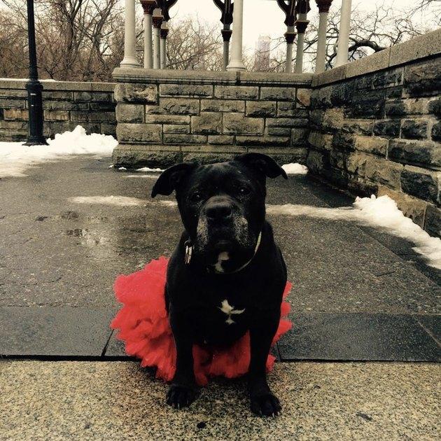 dog in red tutu