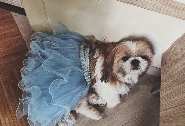 shitzu in blue tutu