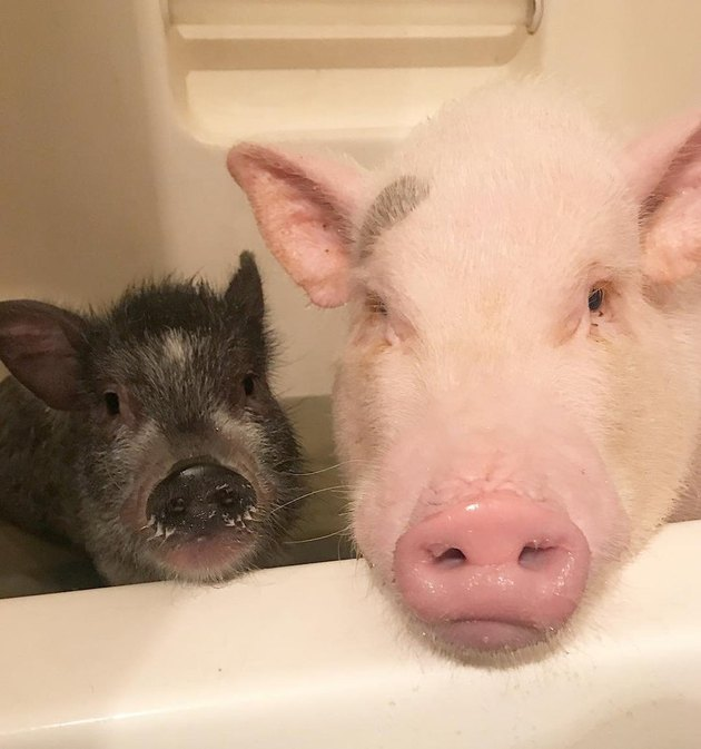 Two pigs in a bathtub