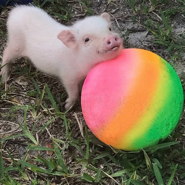 Pig with beach ball