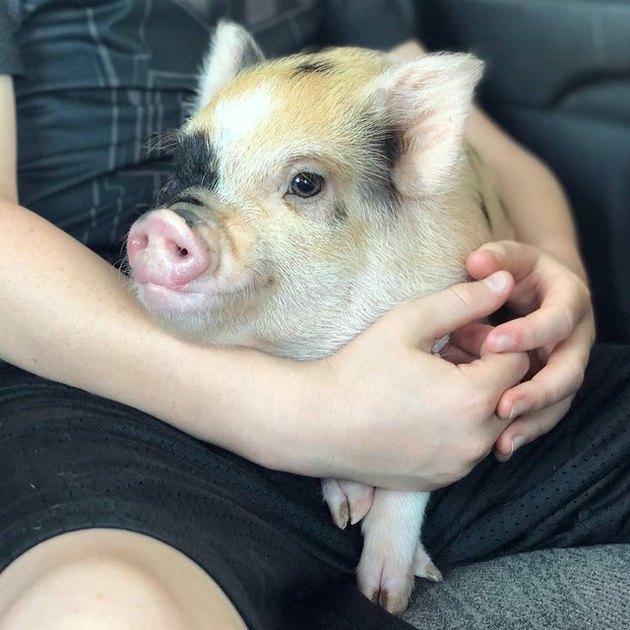 Pig on someone's lap