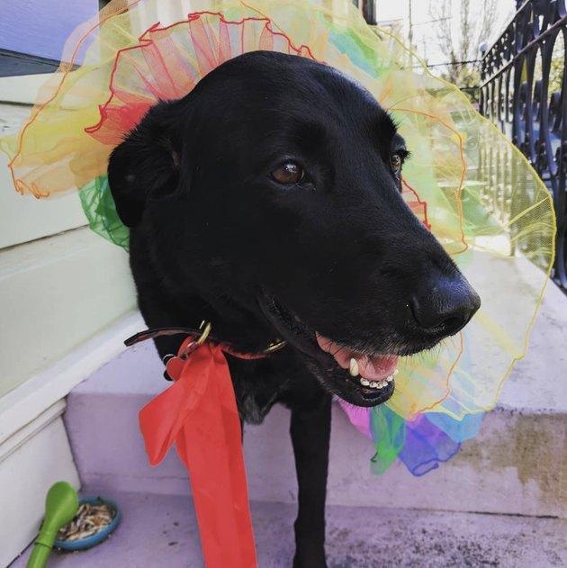 black dog in rainbow tutu