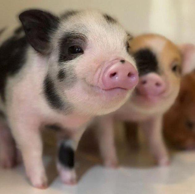 Black spotted piglet