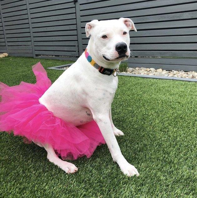 white dog in magenta tutu
