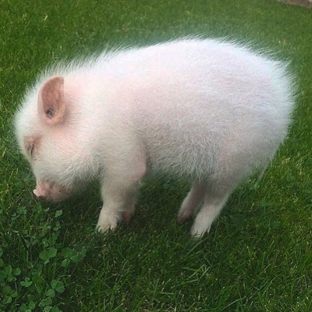 Pig sniffing lawn