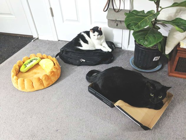Cats sleep on luggage instead of new cat bed