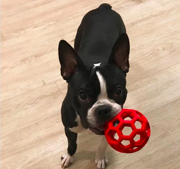 Boston terrier with red toy in mouth