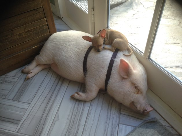 Small dog sleeping on top of a sleeping pig