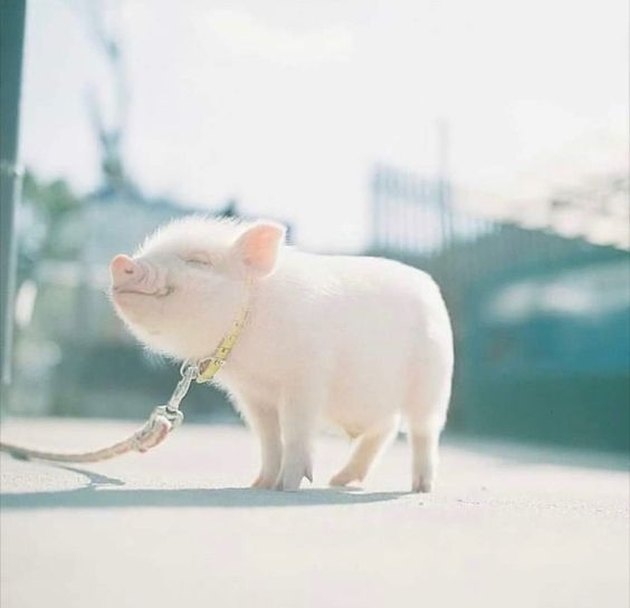Smiling pig on a leash