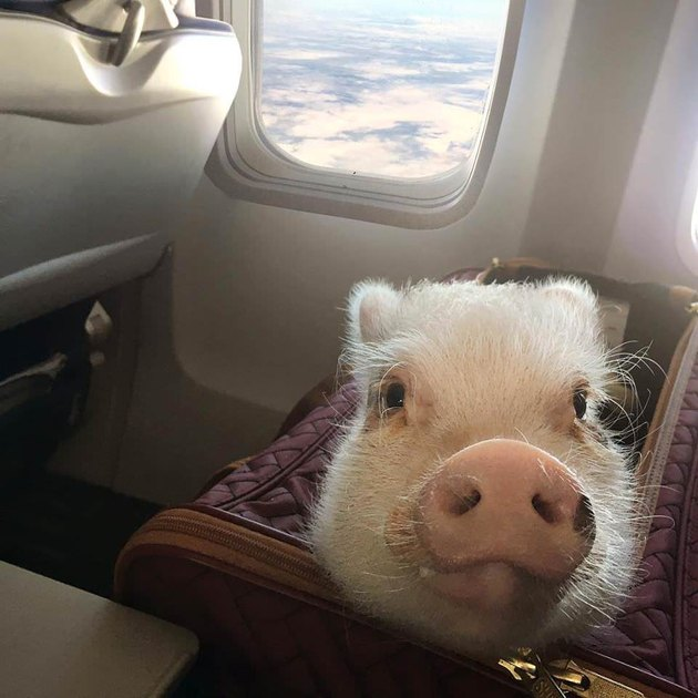 Pig in a bag on a seat in an airplane