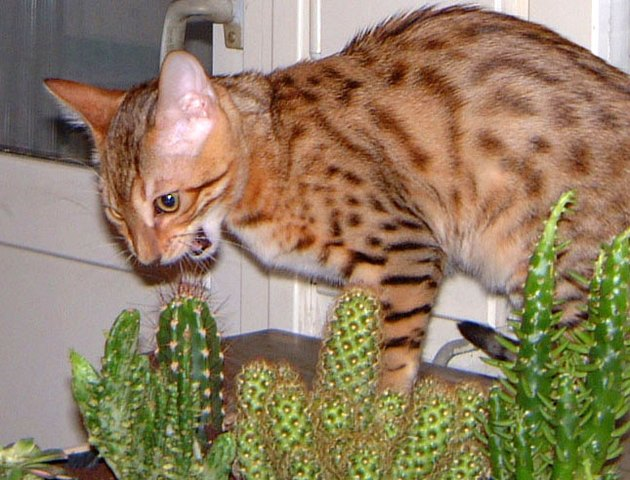 Cat getting ready to bite a cactus.