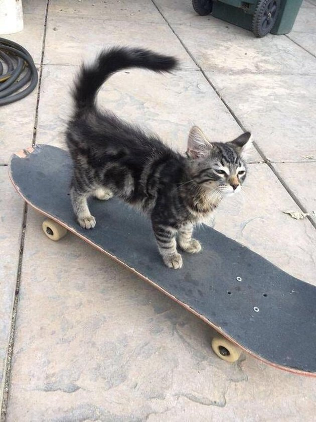 Kitten on a skateboard