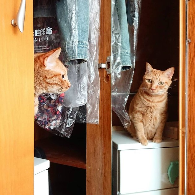 orange tabby stares at mirror reflection