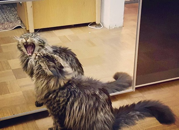cat yawns in front of mirror