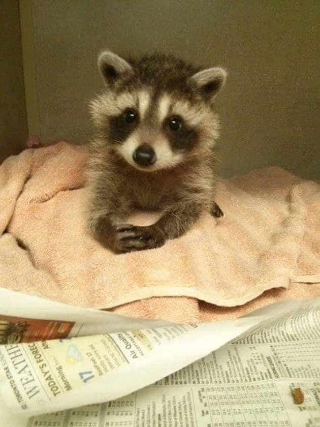 Baby racoon that looks very polite