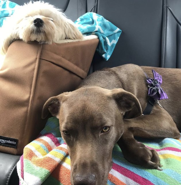 one dog in car seat next to bigger dog