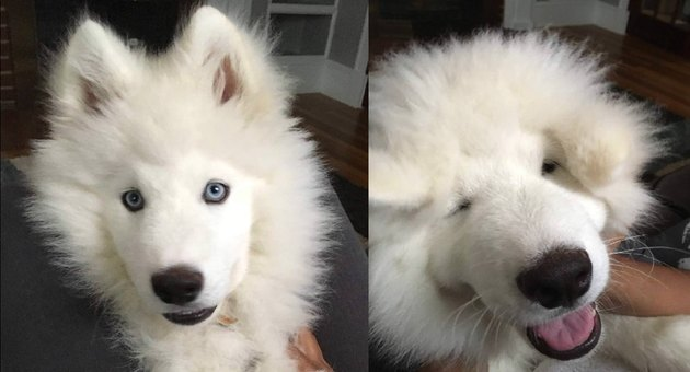 Fluffy dog with its face squished.