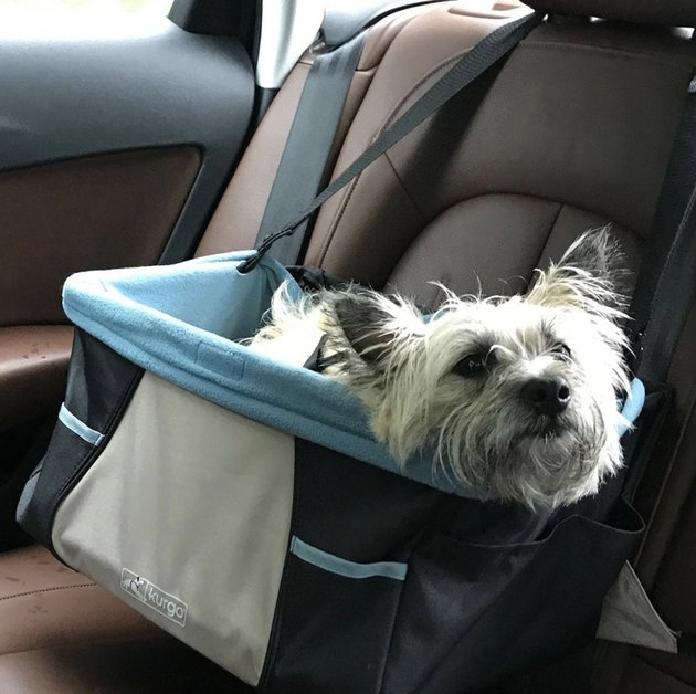 scruffy dog in blue car seat