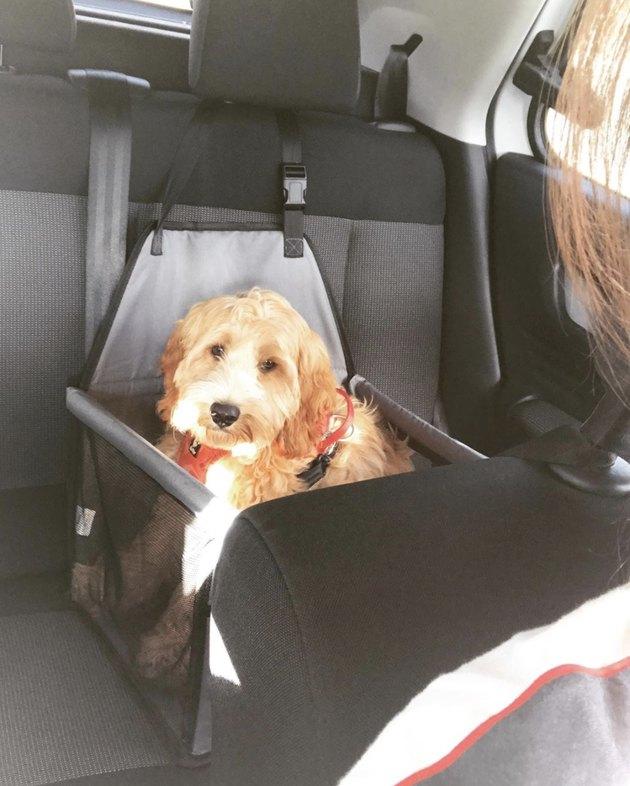 unimpressed dog in car seat