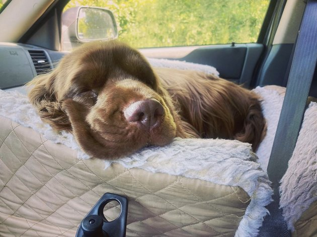 sleeping dog in car seat