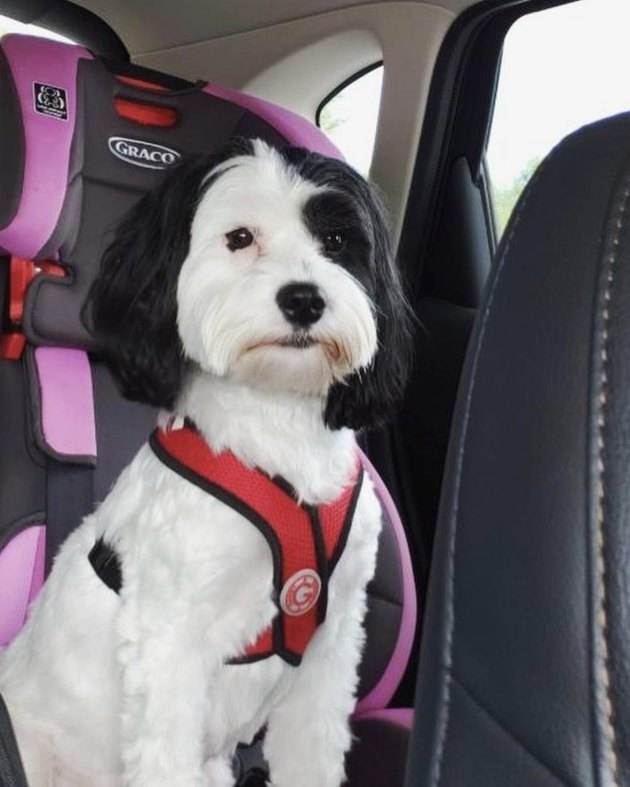 black and white dog in car seat