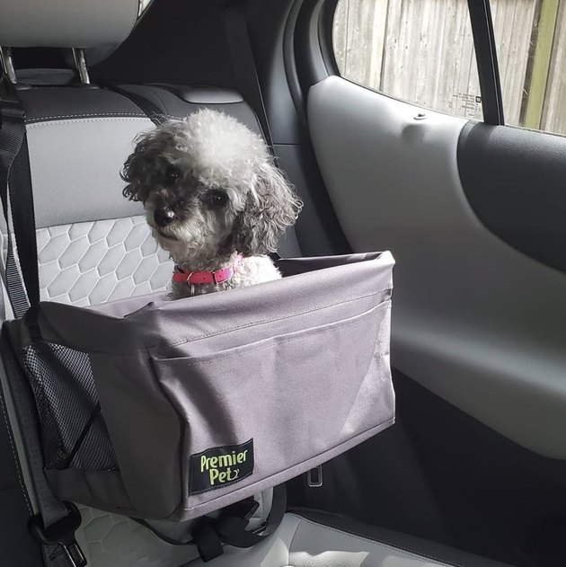 toy poodle in car seat