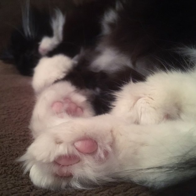 Bottom of cat's tufted paws