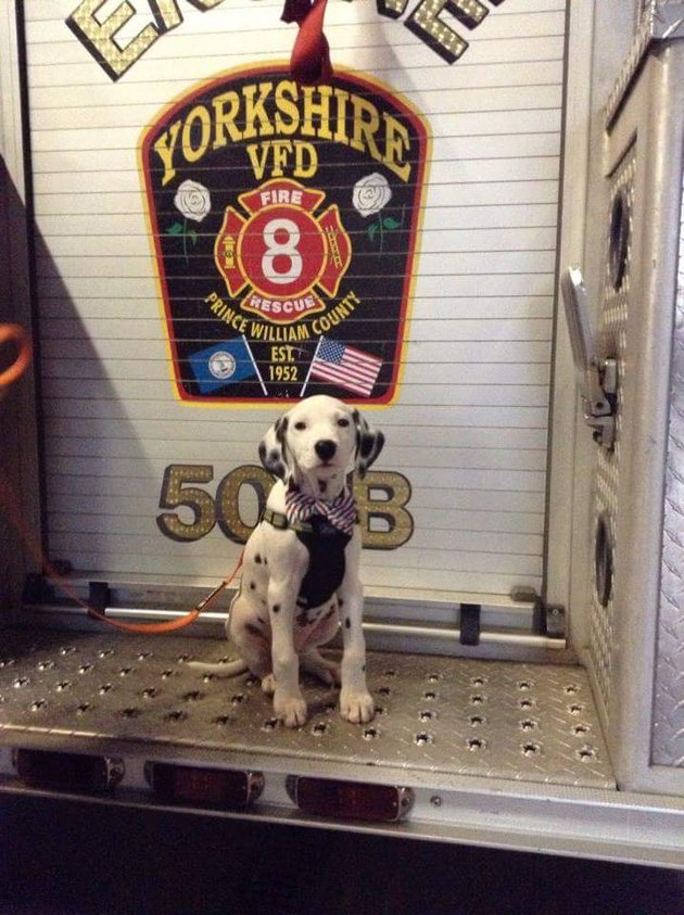 Dalmation pup in a fire station