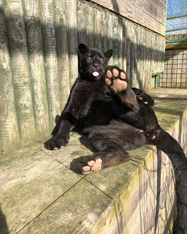 Panther showing the underside of its paws