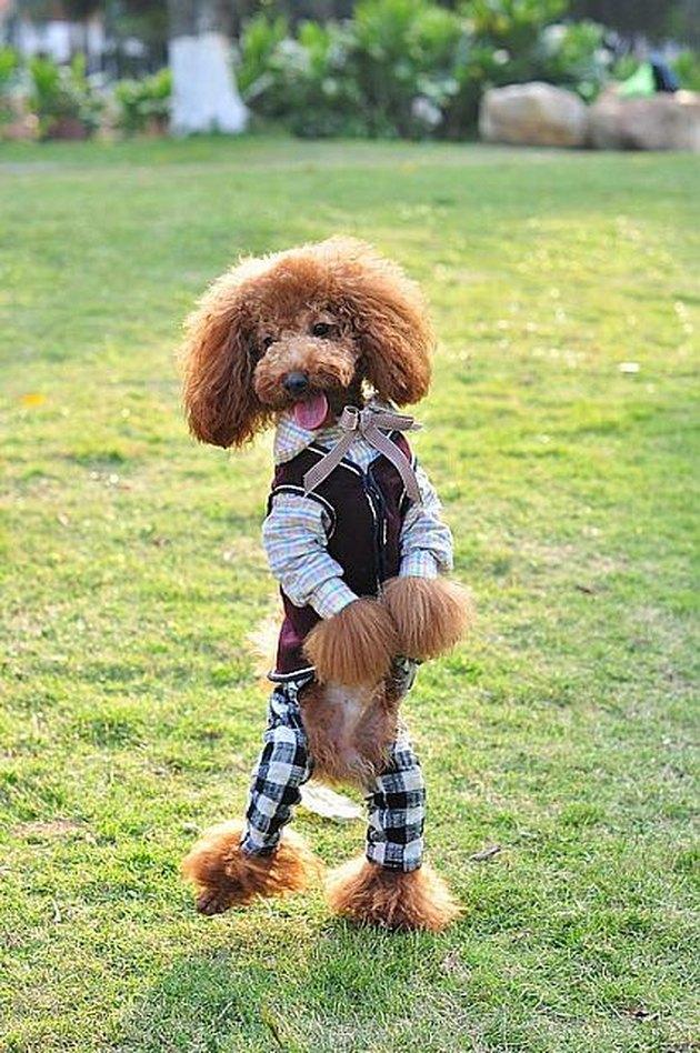 Dog wearing a fancy little suit
