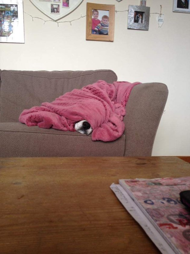 Dog does a sleep under a pink blanket