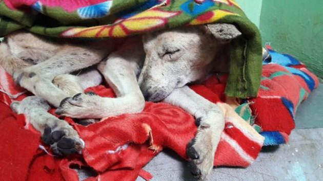 rescued dog sleeps under blanket