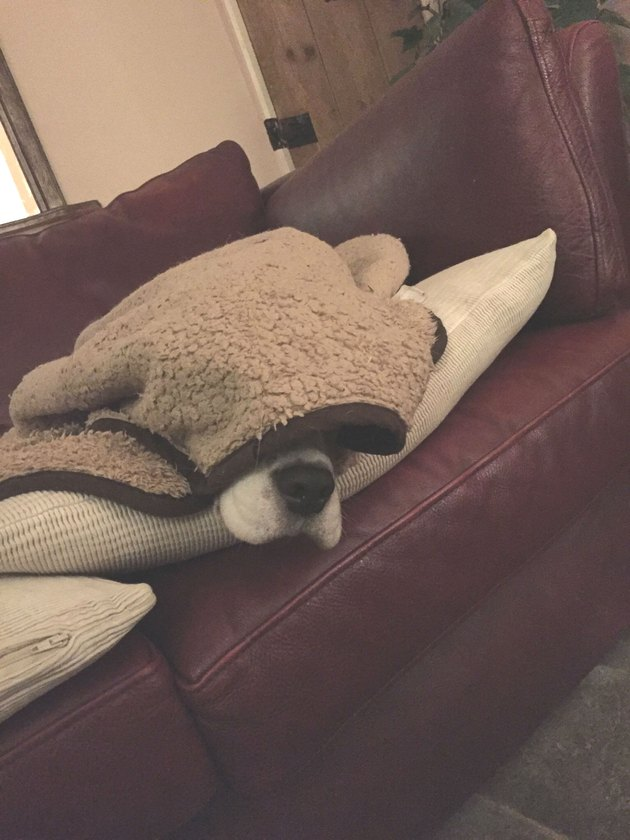 Sleeping dog dozes under blanket