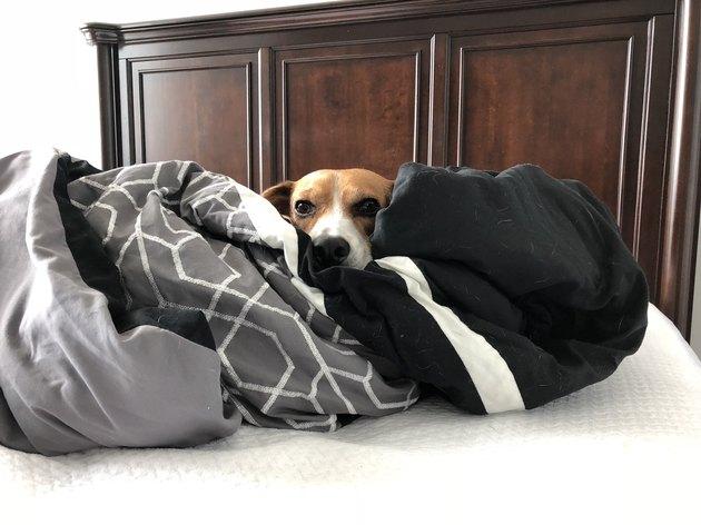Beagle doin a blanket snug