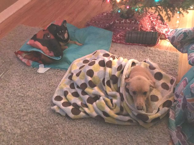 Because the only thing better than one dog under a blanket is two!