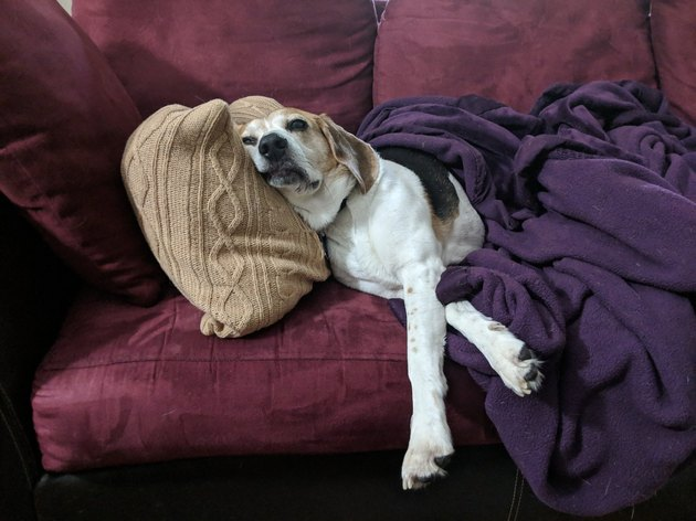 beagle rests head against pillow