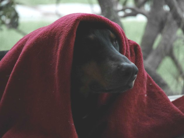 Dog cloaked in blanket like Jedi