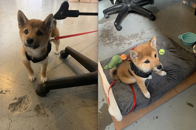 someone brought their shiba inu to work