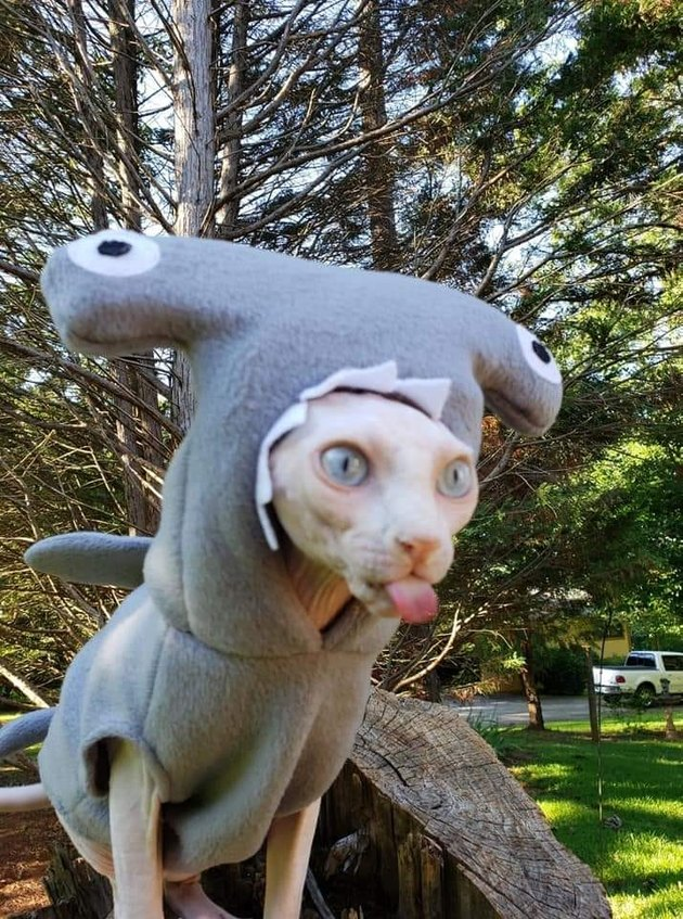 Hairless cat in hammerhead shark costume