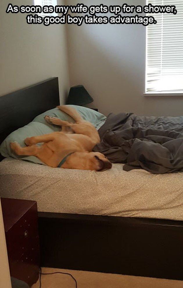 Dog taking up most of a bed.
