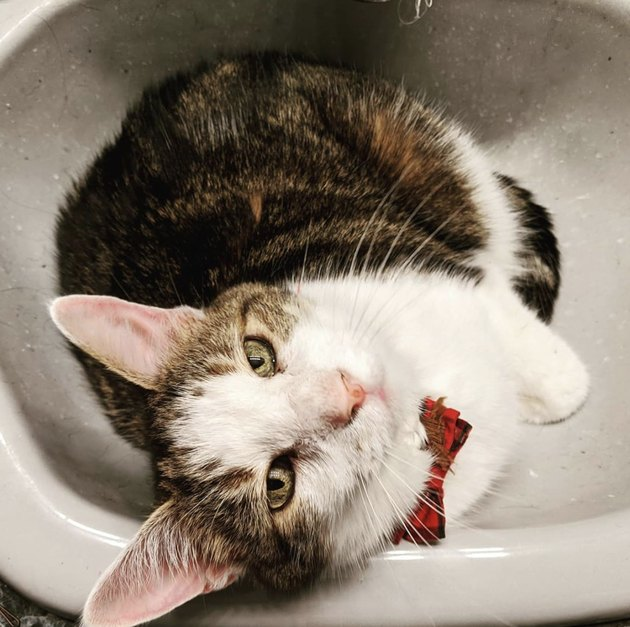 cat with bowtie in sink
