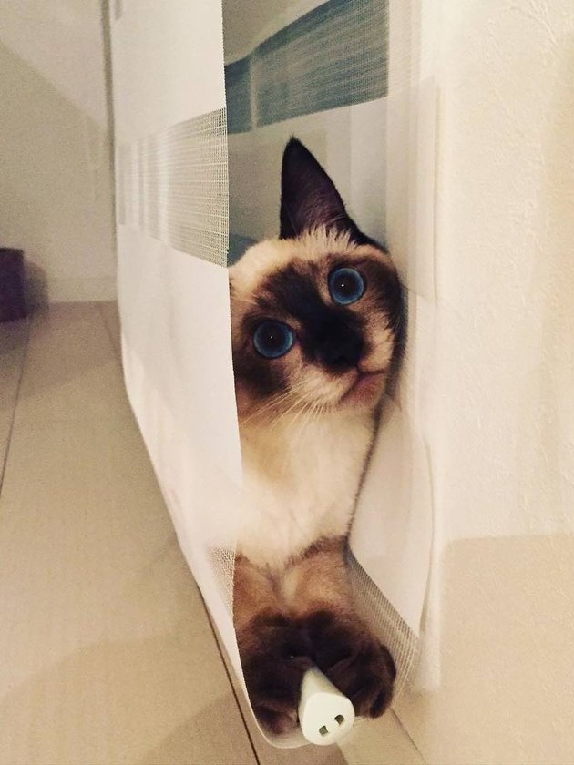 Cat hiding in blinds