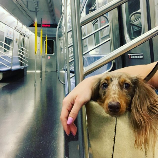 dog sits in human's bag on empty train