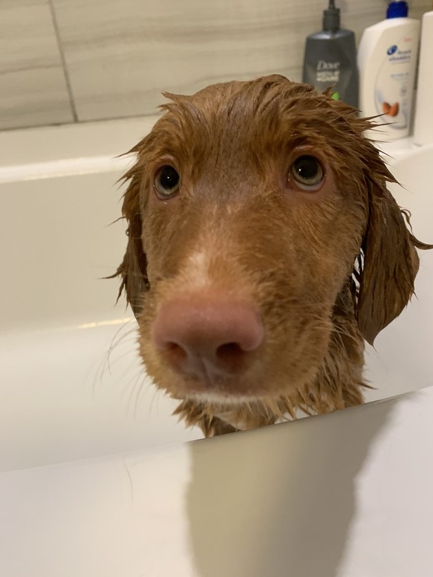 Wet dog in bath looking sad